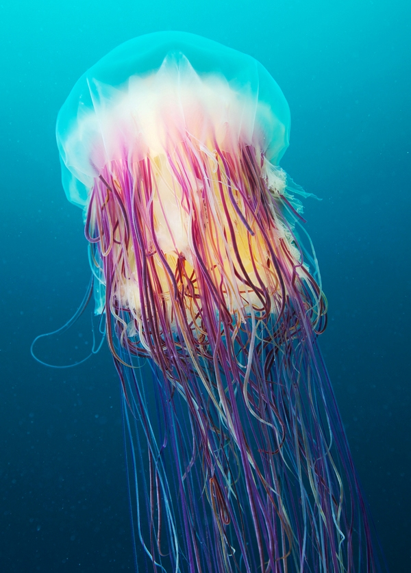 Stunning Underwater Jellyfish Photography By Alexander Semenov