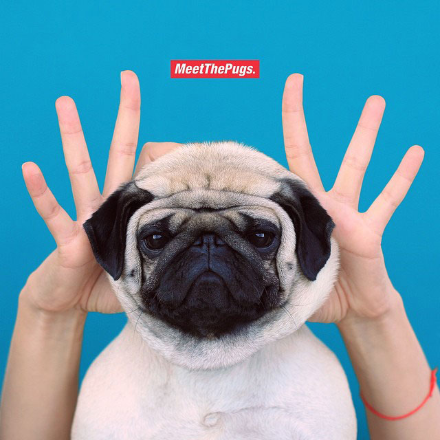 MeetThePugs - promo photo of a community for pug lovers from all over the world.