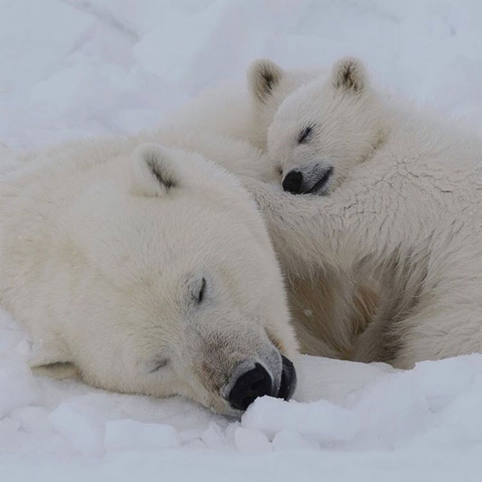 A female polar bear and her cubs take a snooze.