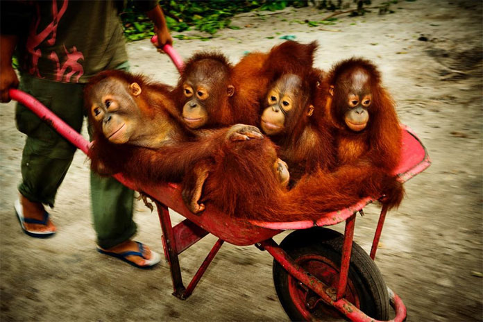 Baby orangutans are wheeled to a place where they can take a nap.