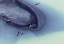 Seals on a black-sand-covered river delta.