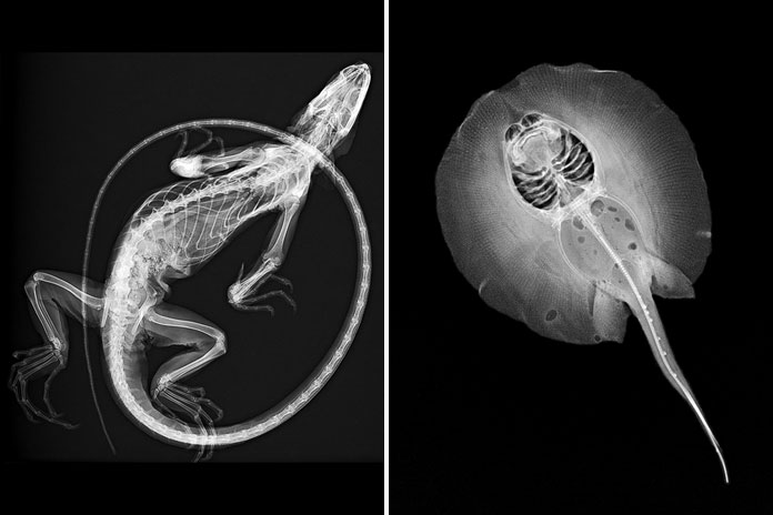 Iguana and stingray x-ray images.