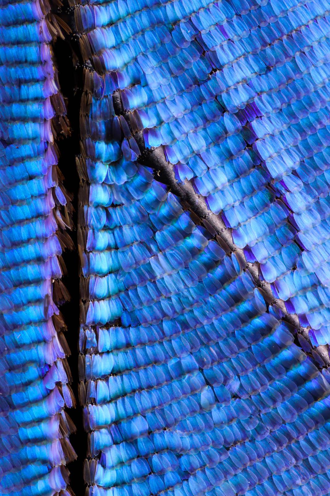 Blue Peruvian Morpho Didius